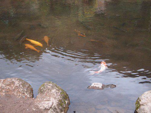 由布院金鱗湖鯉