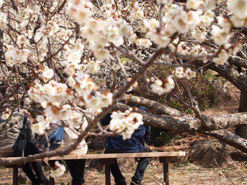 筑波梅祭り白梅